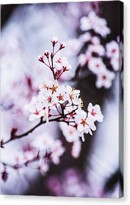 Canvas Print featuring the photograph Cherry Blossoms by Parker Cunningham