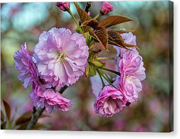 Cherry Blossoms Canvas Print by Pat Cook