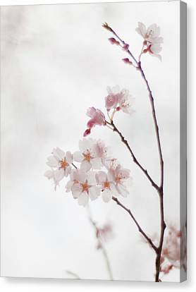 Cherry Blossoms Canvas Print by Polotan