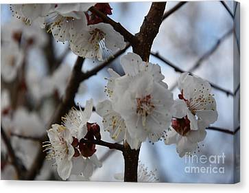 Cherry Blossoms Pt.1 Canvas Print by Igor Oleinick