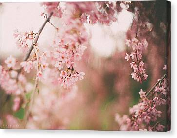 Cherry Blossoms Canvas Print by Tracy  Jade