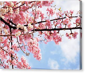 Cherry Tree Canvas Print - Cherry Blossoms Under Blue Sky by Neconote