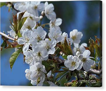 Canvas Print featuring the photograph Cherry Blossoms by Victor K