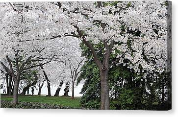 Cherry Blossoms Washington Dc Canvas Print by Steve Archbold
