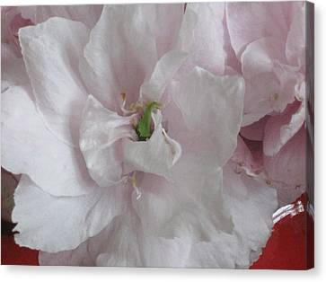 Canvas Print featuring the photograph Cherry Blossum Close Up by AJ Brown