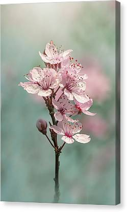 Cherry Clouds Canvas Print by Jacky Parker