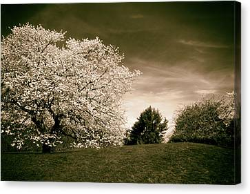 Spring Cherry In Sepia Canvas Print