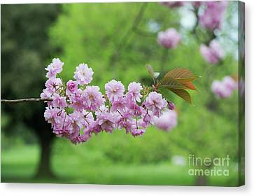 Cherry Kanzan Blossom Canvas Print by Tim Gainey