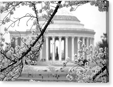Cherry Tree Canvas Print - Cherry Tree And Jefferson Memorial Elegance  by Olivier Le Queinec
