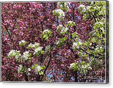 Cherry Tree And Pear Blossoms Canvas Print by Dora Sofia Caputo Photographic Art and Design