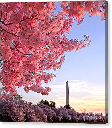 Cherry Tree Canvas Print - Cherry Tree And The Washington Monument  by Olivier Le Queinec