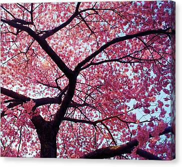 Cherry Tree Canvas Print by Mitch Cat