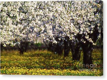 Cherry Trees And Wild Flowers Canvas Print by Robert Brown