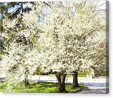 Cherry Trees In Blossom Canvas Print