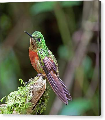 Chestnut-breasted Coronet Canvas Print by Photography by Jean-Luc Baron