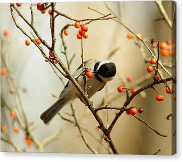 Chickadee 1 Of 2 Canvas Print by Robert Frederick