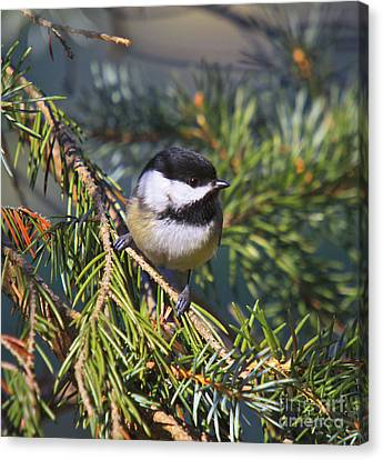 Chickadee-12 Canvas Print by Robert Pearson