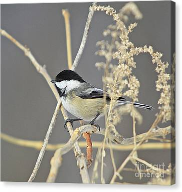 Chickadee-8 Canvas Print by Robert Pearson