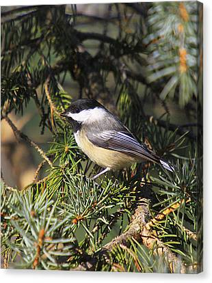 Chickadee-9 Canvas Print by Robert Pearson