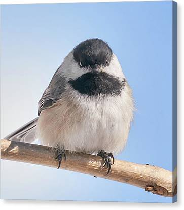 Chickadee At 5 Below Canvas Print