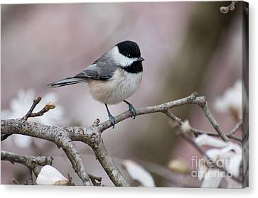Canvas Print featuring the photograph Chickadee - D010026 by Daniel Dempster