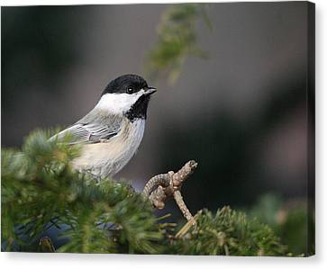 Canvas Print featuring the photograph Chickadee In Balsam Tree by Susan Capuano