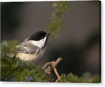 Canvas Print featuring the photograph Chickadee In The Shadows by Susan Capuano