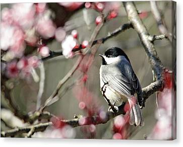 Chickadee Canvas Print by Trina Ansel