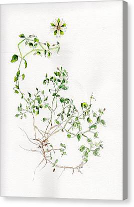 Chickweed Herb Canvas Print by Doris Blessington