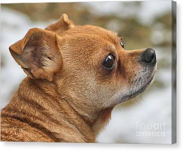 Canvas Print featuring the photograph Chihuahua by Debbie Stahre
