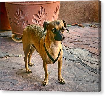 Chihuahua - Dogs Canvas Print