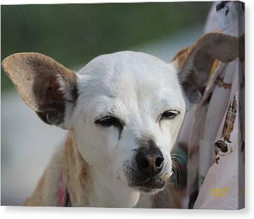 Chihuahua Snaggle Puss  Canvas Print