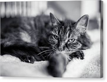 Feline - Chill Out Canvas Print