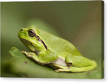 Chilling Tree Frog Canvas Print by Roeselien Raimond