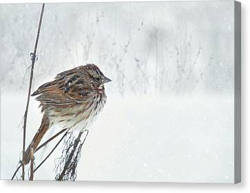Animal Canvas Print - Chilly Song Sparrow by Lori Deiter