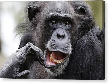 CANVAS Chimpanzee Brushing His Teeth Art print POSTER