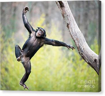 Chimp In Flight Canvas Print by Abeselom Zerit