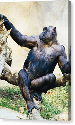 Chimp On A Branch Canvas Print by Pati Photography