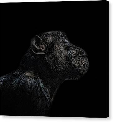 Chimp Thinking Canvas Print by Martin Newman