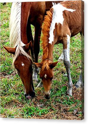 Chincoteague Wild Horses Mare And Pony Horses Eastern Shore Virginia Canvas Print