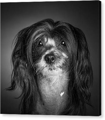Chinese Crested - 02 Canvas Print by Larry Carr