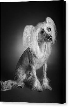Chinese Crested - 03 Canvas Print by Larry Carr