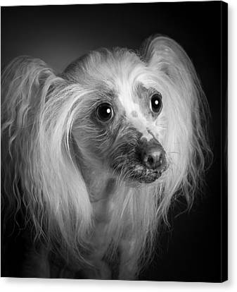 Chinese Crested - 04 Canvas Print by Larry Carr