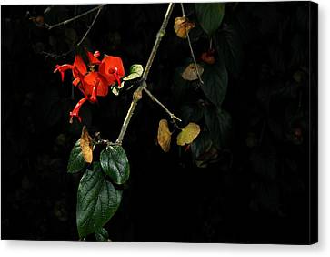 Chinese Hat Plant Canvas Print