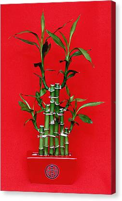 Chinese Luck Bamboo Canvas Print by Kevin F Cook