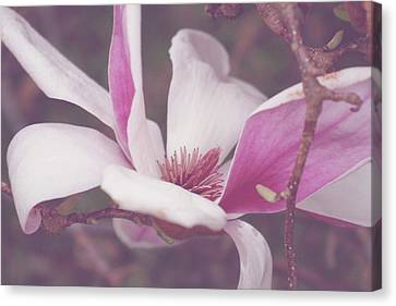 Chinese Magnolia Bloom Canvas Print by Toni Hopper