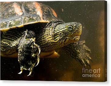 Chinese Pond Turtle Canvas Print by B.G. Thomson