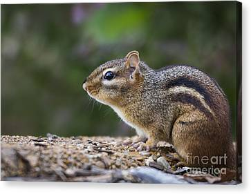 Chipmunk   Canvas Print by Andrea Silies
