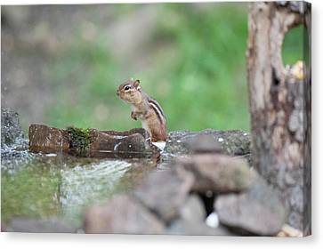 Chipmunk By The Water Canvas Print by Dan Friend
