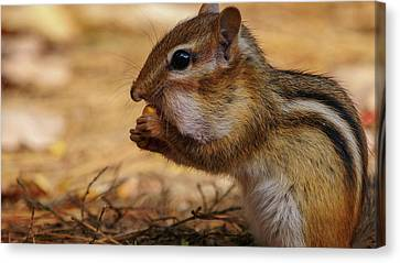 Canvas Print featuring the photograph Chipmunk Eating Corn by Bob Orsillo